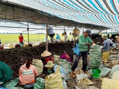 Giải cứu hay giải pháp cho nông sản Việt
