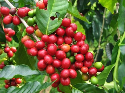 Giá cà phê xuất khẩu bình quân tăng 7,3 so với cùng kỳ