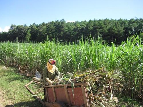 Chống bán phá giá đối với một số sản phẩm đường mía có xuất xứ từ Vương quốc Thái Lan