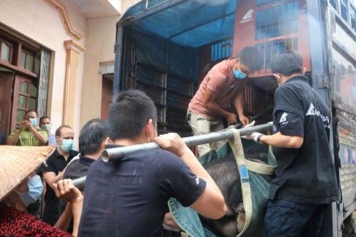 Cứu hộ 3 cá thế gấu nuôi cuối cùng tại Lạng Sơn