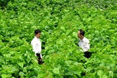 Trấn Yên đẩy mạnh tái cơ cấu nông, lâm nghiệp theo hướng sản xuất hàng hóa