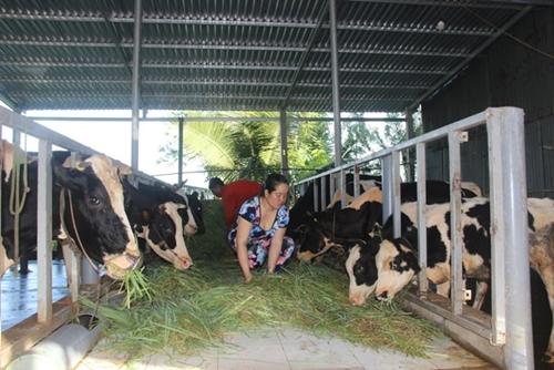 Tháo gỡ khó khăn trong tiêu thụ sữa bò cho người dân ở Sóc Trăng