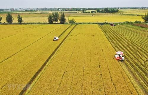 Đồng bằng sông Cửu Long Tổng sản lượng lúa hè thu ước đạt hơn 8,5 triệu tấn