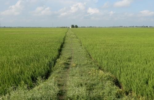 Chuyển mục đích sử dụng đất trồng lúa tại tỉnh Long An