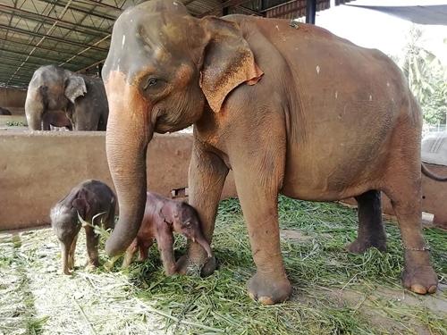 Voi sinh đôi hiếm gặp ở Sri Lanka