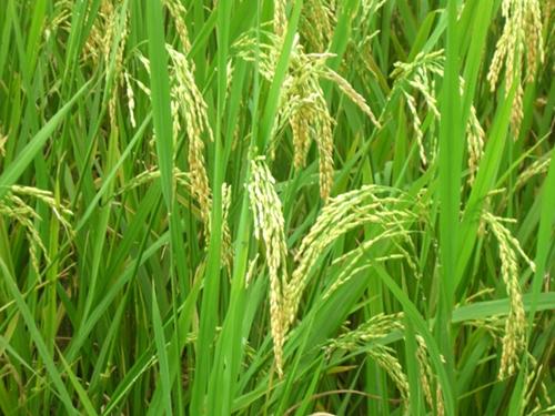 Thái Thụy Hoàn thành kế hoạch phòng trừ sâu bệnh cho lúa mùa năm 2021