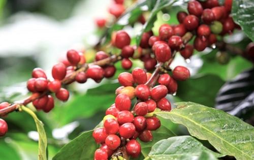 Dự báo xuất khẩu cà phê sang Hàn Quốc tiếp tục tăng trưởng