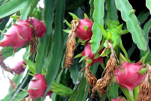 Khắc phục khó khăn để tăng giá trị kim ngạch xuất khẩu ngành rau quả