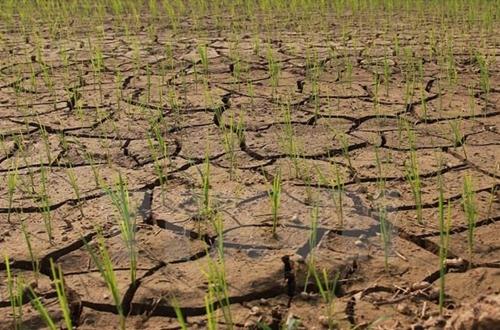Nắng nóng, hạn hán gia tăng gây thiệt hại cho mùa màng