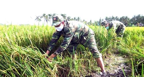 Phú Yên Bộ đội, dân quân tự vệ gặt lúa giúp dân