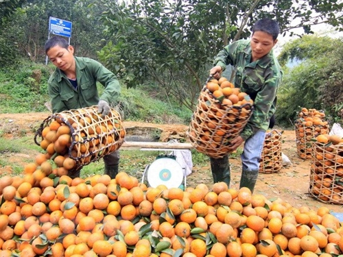 Hà Giang Lấy chất lượng làm tiêu chí hàng đầu phát triển thương hiệu cam
