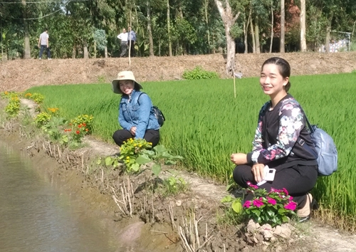 An Giang Hiệu quả từ triển khai mô hình ruộng lúa bờ hoa